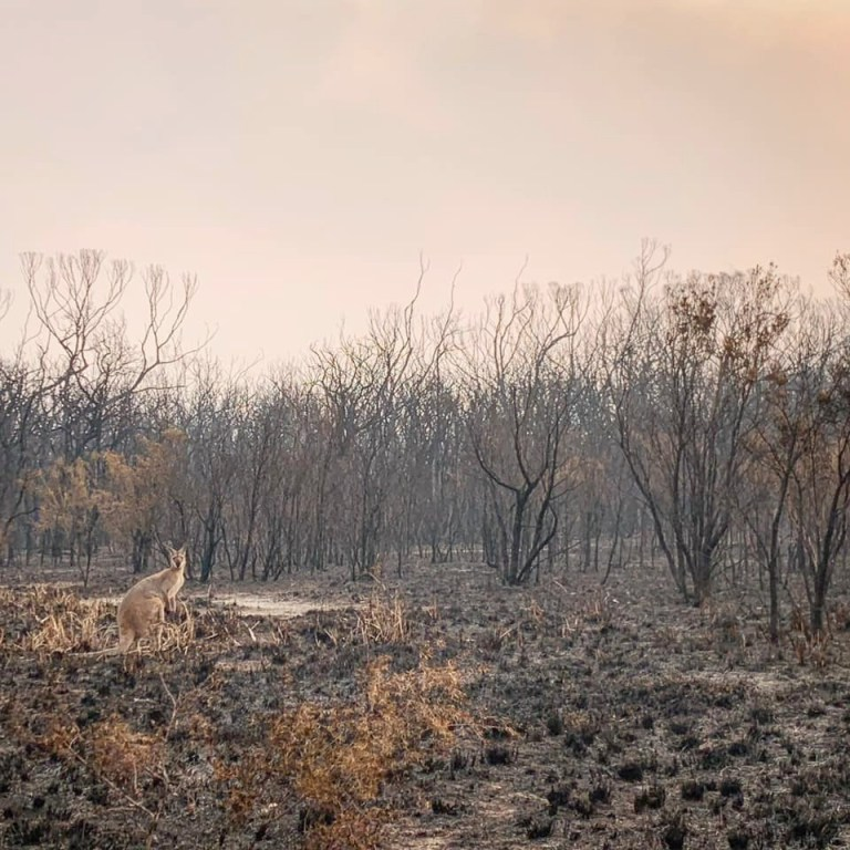 A kangaroo stands on charred vegetation in the aftermath of a bushfire in Wallabi Point, New South Wales, Australia, November 12, 2019, in this image obtained from social media. Courtesy of Adam Stevenson/Social Media via REUTERS. ATTENTION EDITORS - THIS IMAGE HAS BEEN SUPPLIED BY A THIRD PARTY. MANDATORY CREDIT ADAM STEVENSON. NO RESALES. NO ARCHIVES.