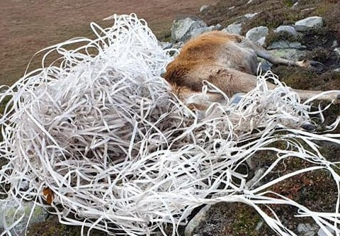 Stag starves to death after getting tangled in waste plastic for a week