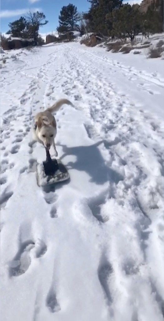 Gus, the one-year-old Carolina/Husky mix is on a snowboard instead of wheels in the snow