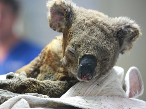 Koalas are 'functionally extinct' after 1,000 killed in Australia bushfires