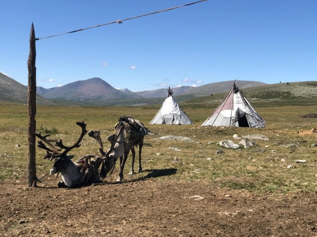 "Embargoed to 1900 Wednesday November 20 Undated handout photo issued by Flinders University of domestic reindeer saddled for riding outside a Tsaatan summer camp in the Khovsgol province of Mongolia. PA Photo. Issue date: Wednesday November 20, 2019. Scientists have said a reindeer-herding community living in the Mongolian mountains are paying the ""first price"" for climate change due to melting ice. See PA story SCIENCE Mongolia. Photo credit should read: Julia Clark/Flinders University/PA Wire NOTE TO EDITORS: This handout photo may only be used in for editorial reporting purposes for the contemporaneous illustration of events, things or the people in the image or facts mentioned in the caption. Reuse of the picture may require further permission from the copyright holder."