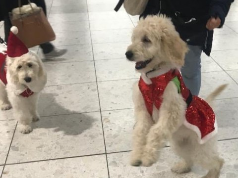 Puppies in training bring early festive cheer at airport