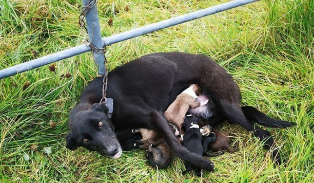 Dog chained to gate and dumped with six nursing puppies