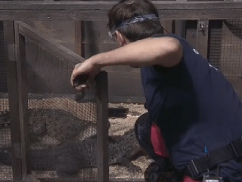 I'm A Celebrity: Andrew Maxwell's near-miss with 'snappy' crocodile in Bushtucker trial as he dons Australian accent
