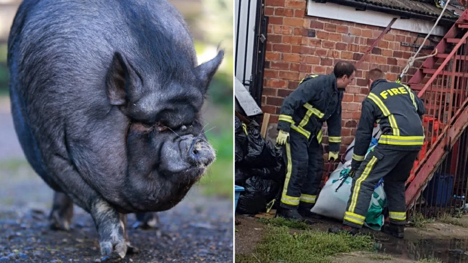 Twiglet the pig lived a 'life of luxury'