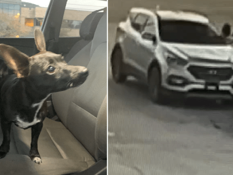 Chihuahua reversed car across busy road then crashed it