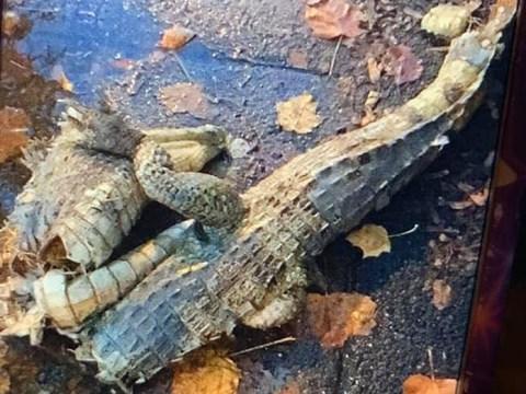 'Crocodile corpse' found cut in half on a Liverpool street