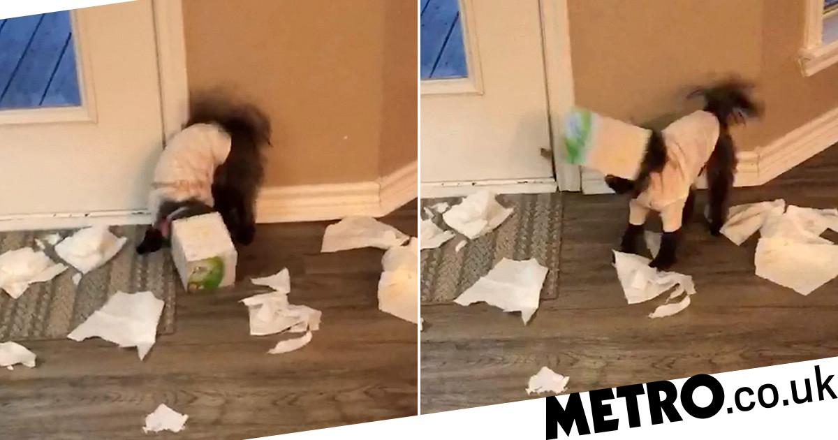 Tissue-loving dog Winzee gets her head stuck in the box