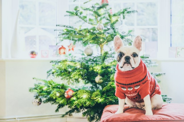 French bulldog sitting in front of a decorated christmas tree.