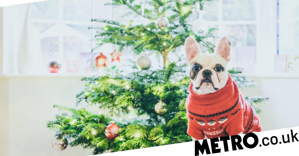 Are Christmas trees poisonous to cats, dogs, rabbits and other pets?