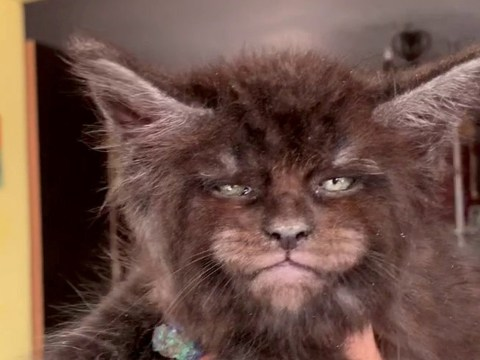 Woman's Maine Coon cats have oddly human faces