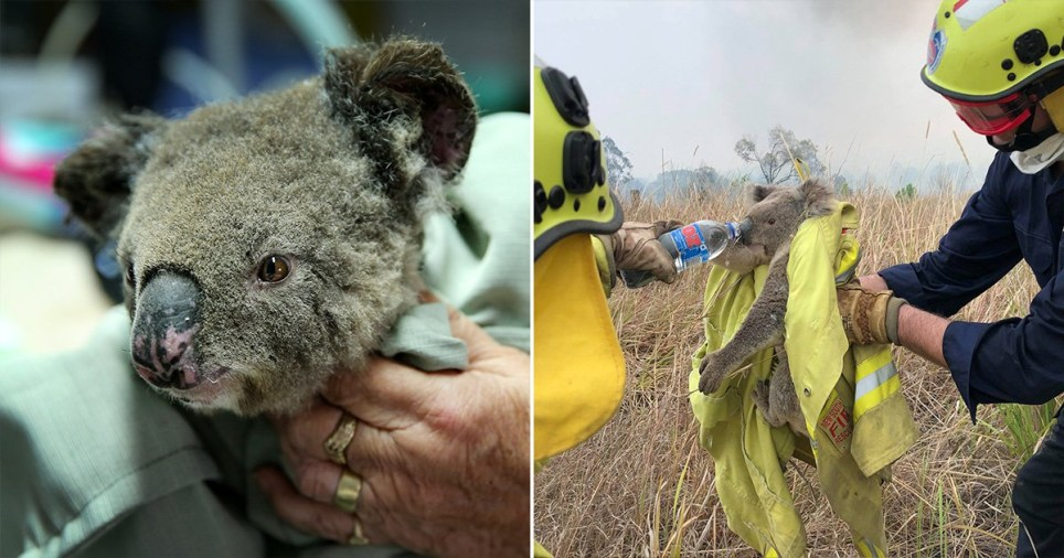 More than 2,000 koalas are now dead