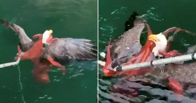 Eagle takes on octopus in 'once in a lifetime' fight