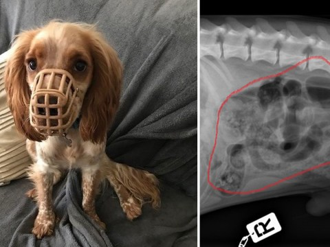Spaniel muzzled for chewing everything in sight eats his own mouth guard