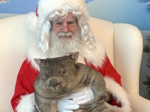 Orphaned wombat celebrates first Christmas with forever family with a visit to Santa