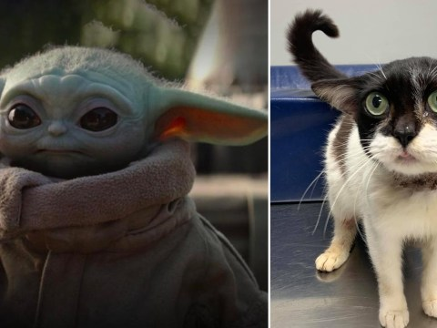Adorable cat looks like baby Yoda – but vet reminds fans that there's millions like her that need a home