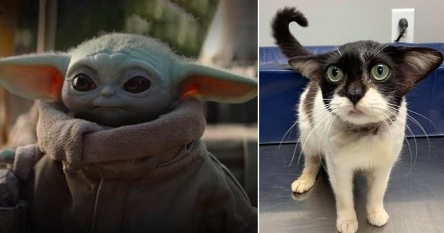 Cat who looks like baby Yoda