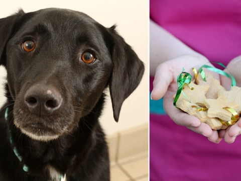 Dog rushed into surgery after eating 34 gingerbread Christmas tree decorations