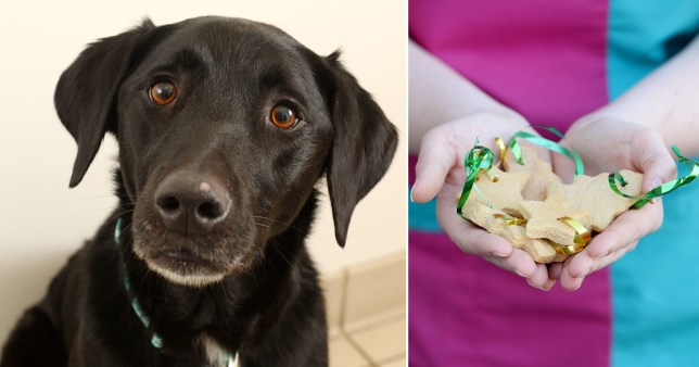 Dog needed life-saving surgery after swallowing 34 Gingerbread Christmas tree decorations