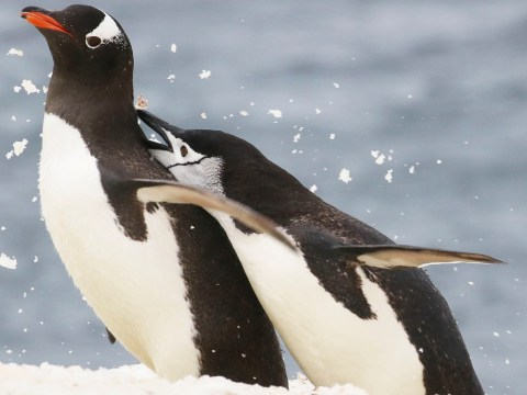 Scientists are watching how Antarctic penguins adapt to availability of food