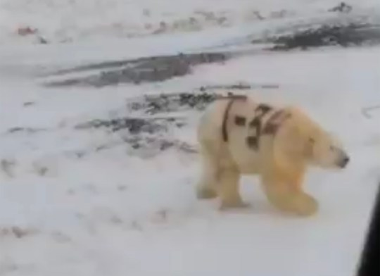 Russian scientists search for polar bear with black ???T-34??? sprayed on its side