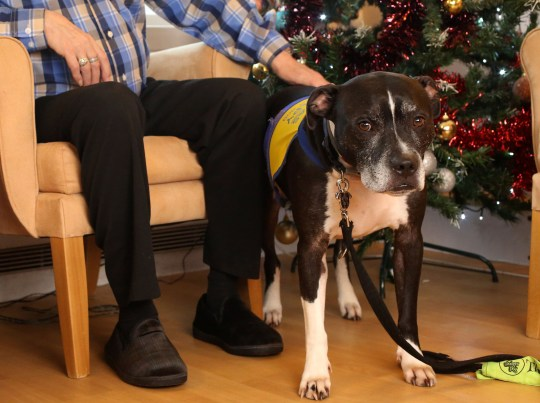 LONDON, DECEMBER 3RD 2019. THERAPY DOG Dodger, the Staffordshire Bull Terrier mix therapy dog, is pictured at the George Mason Lodge care home in Leytonstone, London, December 3rd, 2019. Dodger is a regular visitor to the home as part of the Pets as Therapy initiative scheme, which aims to use dogs to help enhance residents wellbeing by calming and soothing them and preventing them from feeling isolated. Also pictured is Dodger's owner Karen Gee (far left). Photo credit: Susannah Ireland