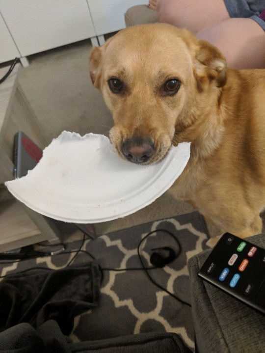 XENA, SEVEN, WHO LIVES IN GREENBELT, MARYLAND, USA, PRESENTING HER OWNER WITH HALF OF A PLASTIC PLATE
