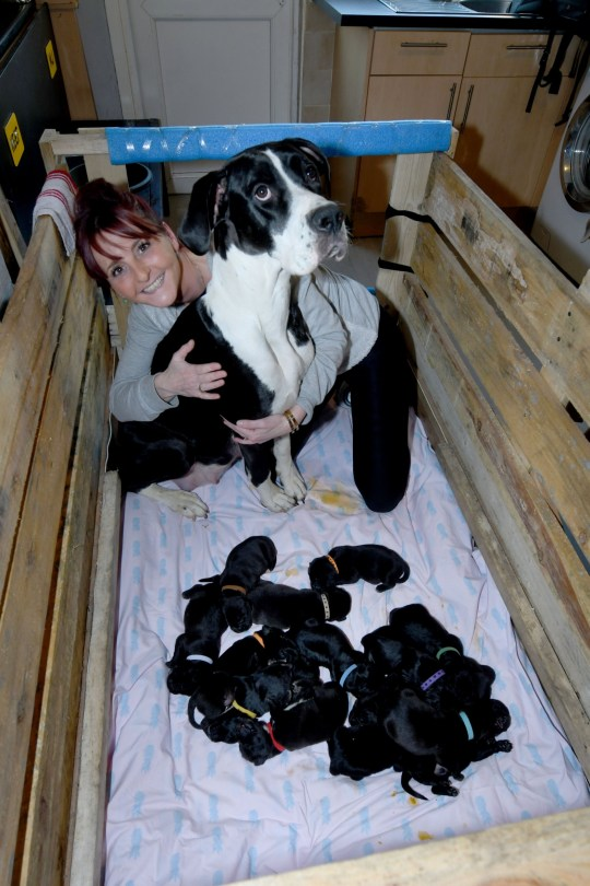 Joanne Hines with some of her puppies and their mother Mary Jane. See SWNS story SWBRdog. A British dog has given birth naturally to a staggering litter of 21 puppies - which its owner thinks could be a world record. Joanne Hine watched in amazement as her Great Dane and American bulldog cross Mary Jane (MJ) popped out the astonishing number last month. She had initially been told the pet would give birth to between six and eight little canines. But an examination closer to MJ's due date showed the actual total was going to be much higher - potentially becoming record-breaking.