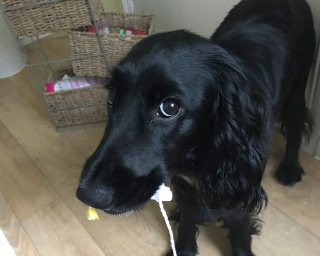Dory the dog holding a tampon in her mouth