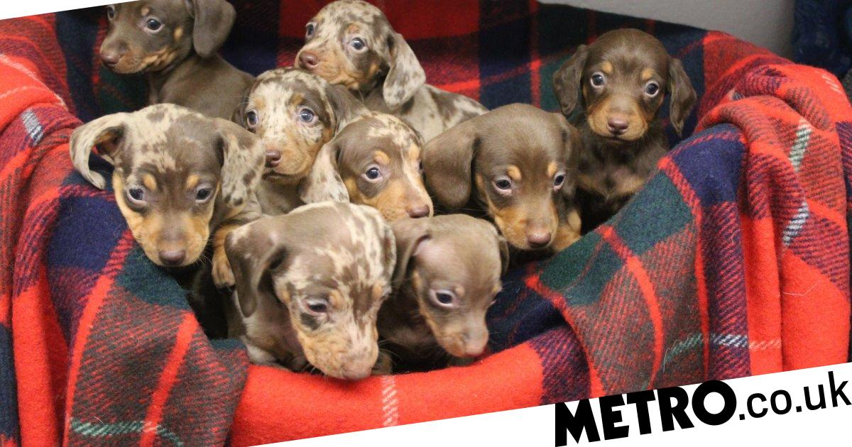 Sausage dog puppies named after Santa's reindeer need your help this Christmas