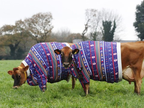 Farmer dresses Jersey cows in Christmas jumpers to get us feeling festive