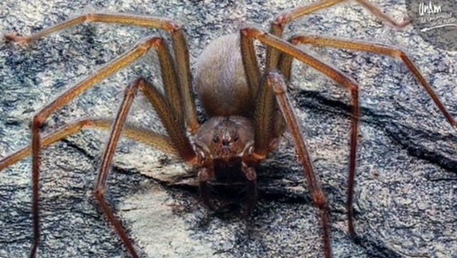 New spider that rots human flesh and lives in furniture is discovered in Mexico