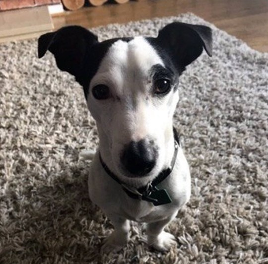 Dated: 10/12/19 George the Jack Russell dog who miraculously survived plunging 40ft off a cliff on the Northumberland coast. See North News story
