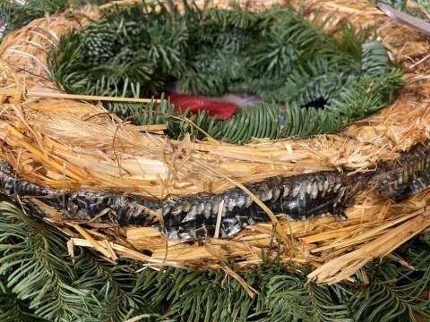 Dad finds 'pungent' dead snake inside Christmas wreath