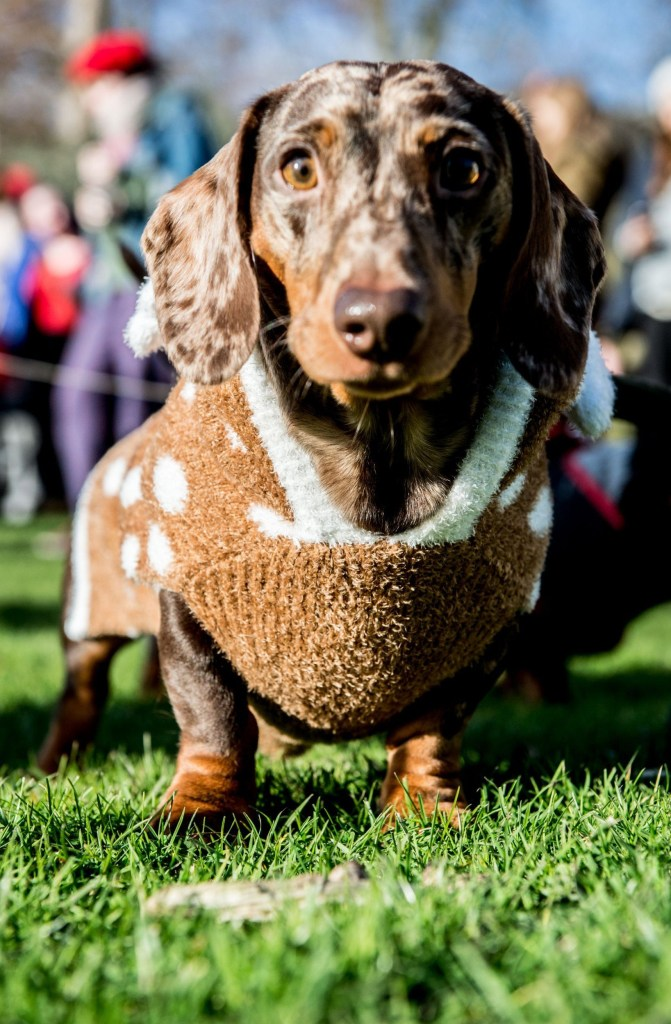 Mandatory Credit: Photo by RMV/REX (10506058an) Humans and dogs take part in the Annual Christmas Sausage Dog Walk Annual Christmas Sausage Dog Walk, Hyde Park, London, UK - 15 Dec 2019