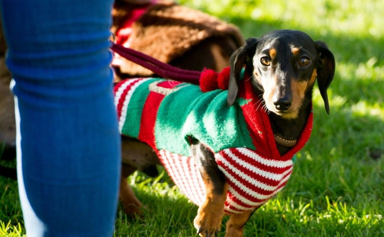 Mandatory Credit: Photo by RMV/REX (10506058m) Humans and dogs take part in the Annual Christmas Sausage Dog Walk Annual Christmas Sausage Dog Walk, Hyde Park, London, UK - 15 Dec 2019