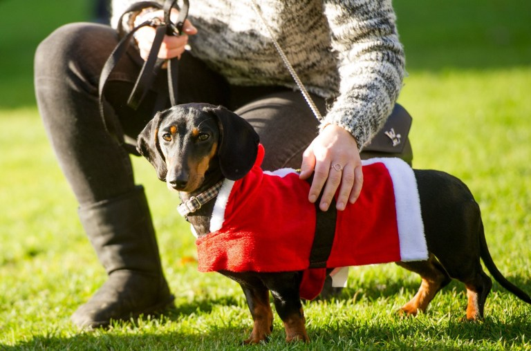 Humans and dogs take part in the Annual Christmas Sausage Dog Walk Annual Christmas Sausage Dog Walk, Hyde Park, London, UK - 15 Dec 2019