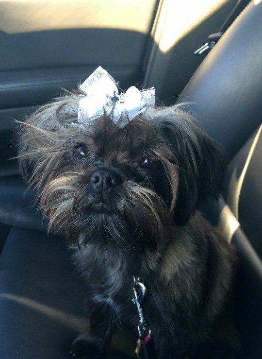 Winzee, a one-year-old Morkie pup in a car looking innocent