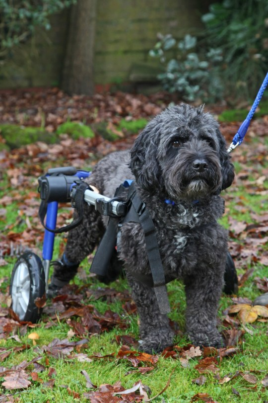 Zippy the paralysed cockapoo using his walking frame and roller skates