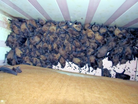 1,700 bats invade tiny flat and start mating