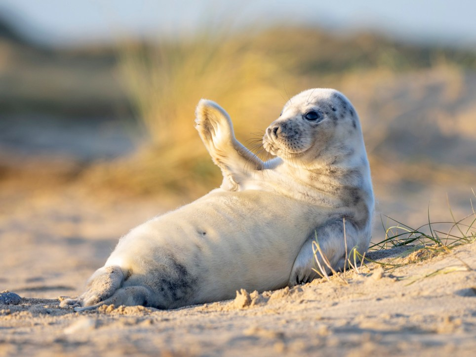 Seal Pup Waves To Camera While Sunbathing On British Beach