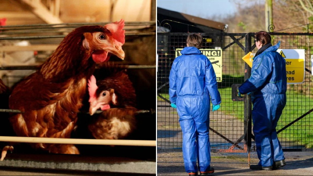 Bird Flu outbreak on Suffolk chicken farm (Picture: Getty Images)