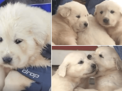 Three adorable puppies found living inside dead sheep on top of snowy mountain