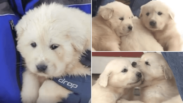 Grabs of the three Great Pyrenees puppies found living inside a sheep carcass on top of a snowy mountain