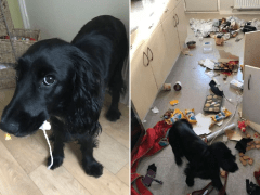 Family think they've been burgled after naughty dog destroys the kitchen