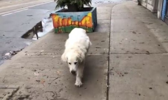 Murphy the Labrador hobbles down road in final walk to vets