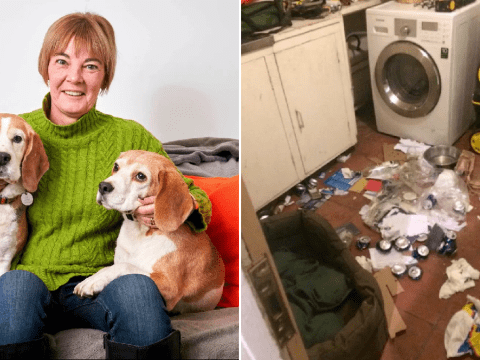 Naughty beagles destroy £6,200 worth of designer bags, shoes and furniture