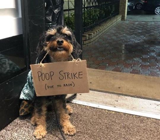 Dog holding sign saying poop strike, due to rain