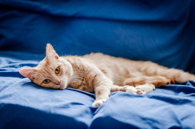 blue cross ginger cat lounging on sofa