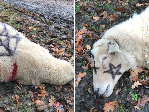 More sheep mutilated after 'Satanic-style' attacks